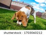 The Dog Sniffs The Ground. Dog...