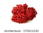 red viburnum berries  isolated... | Shutterstock . vector #170311232
