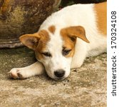 puppy face while lying on the... | Shutterstock . vector #170324108