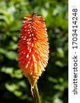 Flowerhead Of A Type Of Red Hot ...