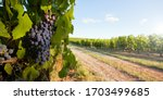 Grape Cluster In The Vineyards...