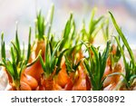 Small photo of a garden of young onion on a window sill.Growing onions on the windowsill. Fresh green onions at home Indoor gardening growing spring onions in flower pot on window sill. Fresh sprouts of green onion