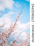 Korea Spring Cherryblossom...
