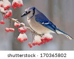 A Beautiful Winter Bluejay ...