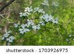 A Dogwood Tree In Full Bloom...