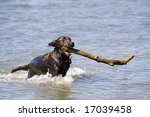 this is a Brown Labrador Retriever Running in Water with Large Stick - stock photo
