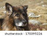 portrait of a german shepherd... | Shutterstock . vector #170395226