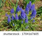 Closeup Grape Hyacinths Flowers ...
