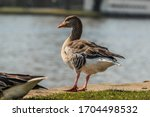 Greylag Goose With Stands On...