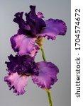 Flower Iris On The White...