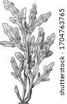 bladder wrack algae...   Shutterstock .eps vector #1704763765