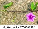 Purple Flowers On Thap Sakae...