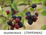 Sweet  Juicy  Ripe Blackberry. ...