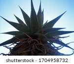 Top Of Mountain Aloe Against...