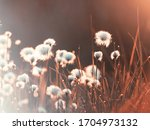 Cotton Grass In The Rays Of...