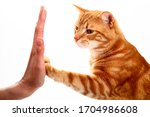 Ginger Tabby Cat High Fiving A...