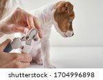 Owner Cuts Nails Jack Russel...