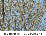 Spring Willow Branches Bright...