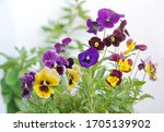 Viola Plant With Multicolor...