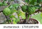 Kaffir Limes Growing On Tree In ...