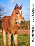Beautiful  Foal  In The Farm...