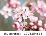 Closeup Of Black Cherry Plum...