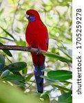 Crimson Rosella. Australian...
