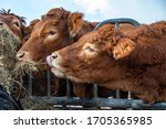 Heads Of Limousin Cows...