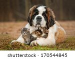 Stock photo saint bernard puppy with three little kittens 170544845