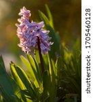 Hyacinthin Small Garden In...