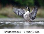 Canada Goose  Branta Canadensi...