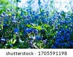 Bluebell  Flower  Spring ...