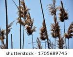 Dry Reeds On Blue Sky