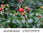 Small Red Roses Buds With...