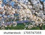 Wood Plum Full Blossom And The...