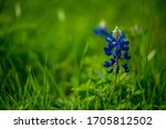 Texas Blue Bonnets In Spring