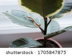Small photo of Dry cover of new ficus elastica leaves close-up. Healthy rubber tree plant growth stage. Variegated Indian rubber tree in pot. Home care of the rubber tree plant. Ficus plant put forth leaf-buds.