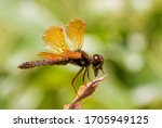 Eastern Amberwing Dragonfly...