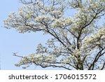Flowering dogwood  cornus...