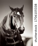 Small photo of Brown horse with caparison in the farm yard in spring sunset. Black white.