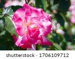 A Big Bloom Vivid White Rose...