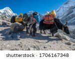 Small photo of Group of domestic Yak caravan carrying tourist stuff on the way to Everest base camp in Nepal. Yaks transport goods across mountain passes for local farmers and traders as well as for climbing tour.