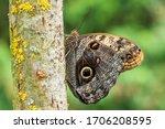 Giant Owl Butterfly    Caligo...