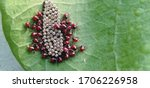 Small photo of Ladybug eggs hatch. Ladybug eggs have hatched. Ladybugs baby flock around their eggs.
