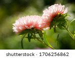 Close Up Of Pink Aster Flower...
