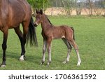 Little Just Born Brown Horse...