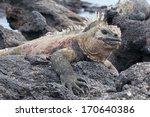 Galapagos Marine Iguana Restin...