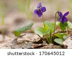Wild Violet On The Background...