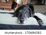 Old Black Dog With Gray Muzzle...