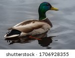 In The Lake Of Latvia  A Male...